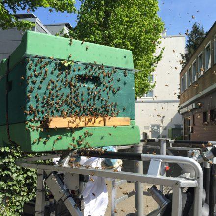 Die Bienen sammeln sich langsam aber sicher um ihre Königin