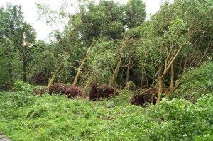 Diese Baumreihe wurde durch den starken Wind entwurzelt