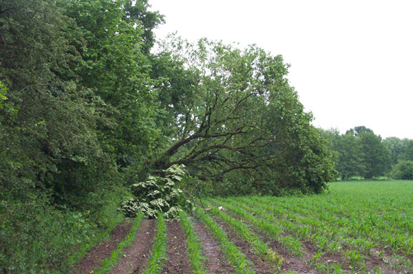 Hier wurde ein Maisfeld in Mitleidenschaft gezogen