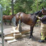 Das Pferd hängt auf dem Gatter fest