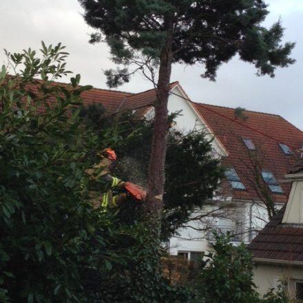 Durch eine Leine gesichert konnte der Baum mit der Motorsäge bearbeitet werden