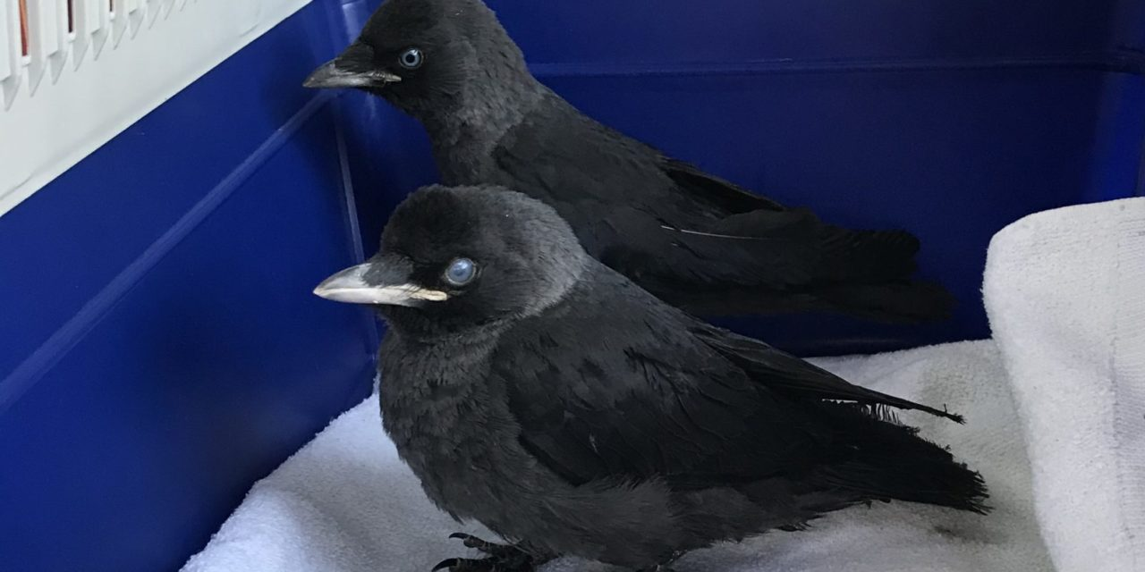 Vögel aus Kaminschacht gerettet